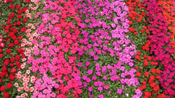 Impatiens Unicolore Marea Mix