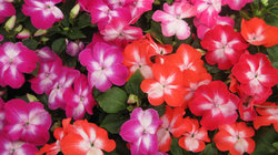 Impatiens Strizzato Mix